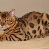 Бенгальская порода кошек: особенности содержания