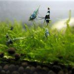 Совместимость креветок и рыб в аквариуме