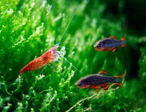 Совместимость рыб и креветок в аквариуме