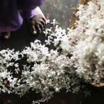 Цветы от Bvlgari: эко-проект по выращиванию жасмина
